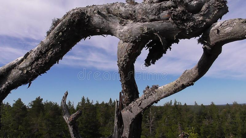 Vottovaara Karelia - ugly tree. Abnormal mountain in Karelia, ugly trees, mystical landscapes. There are more than one and a half thousand stone sades. The royalty free stock image