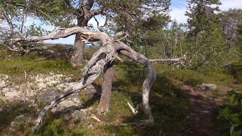 Vottovaara Karelia - ugly tree. Abnormal mountain in Karelia, ugly trees, mystical landscapes. There are more than one and a half thousand stone sades. The stock photos
