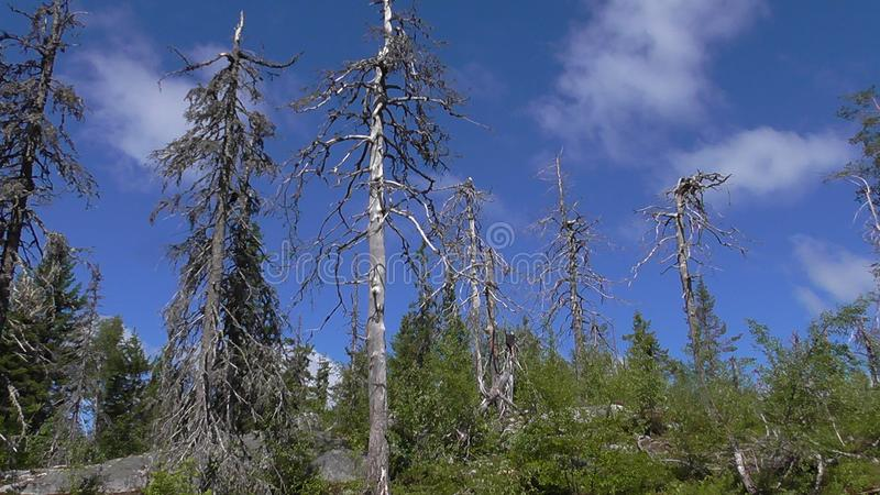 Vottovaara Karelia - ugly trees. Abnormal mountain in Karelia, ugly trees, mystical landscapes. There are more than one and a half thousand stone sades. The stock image