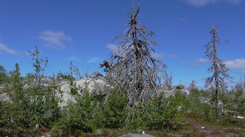 Vottovaara Karelia - ugly trees. Abnormal mountain in Karelia, ugly trees, mystical landscapes. There are more than one and a half thousand stone sades. The royalty free stock photography