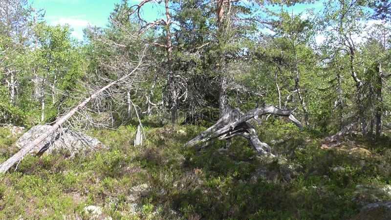 Vottovaara Karelia - ugly trees. Abnormal mountain in Karelia, ugly trees, mystical landscapes. There are more than one and a half thousand stone sades. The stock photography