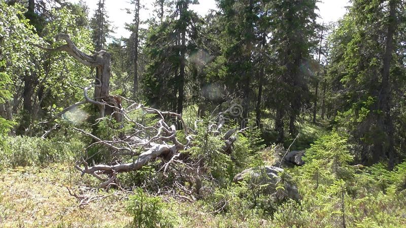 Vottovaara Karelia - ugly trees. Abnormal mountain in Karelia, ugly trees, mystical landscapes. There are more than one and a half thousand stone sades. The royalty free stock photo