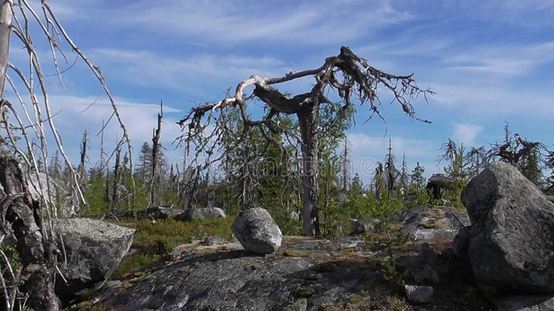 Vottovaara Karelia - ugly trees. Abnormal mountain in Karelia, ugly trees, mystical landscapes. There are more than one and a half thousand stone sades. The stock images