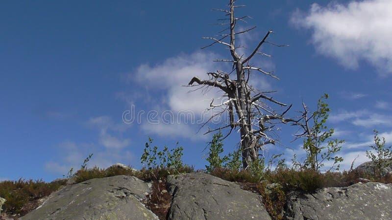 Vottovaara Karelien - hässlicher Baum lizenzfreie stockbilder