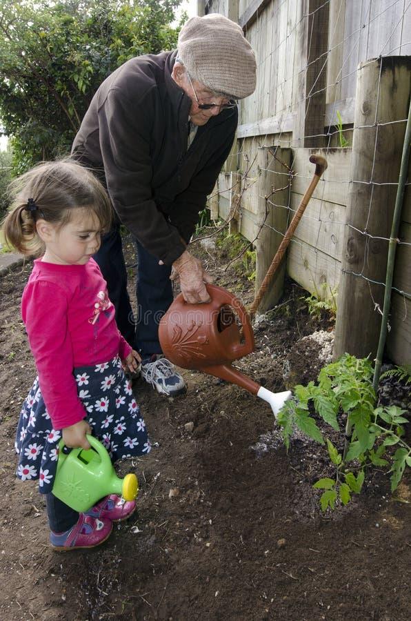 Vovô e neto que plantam a planta de tomate fotografia de stock royalty free