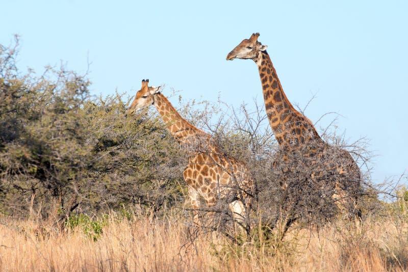 Voyage de girafe photo stock