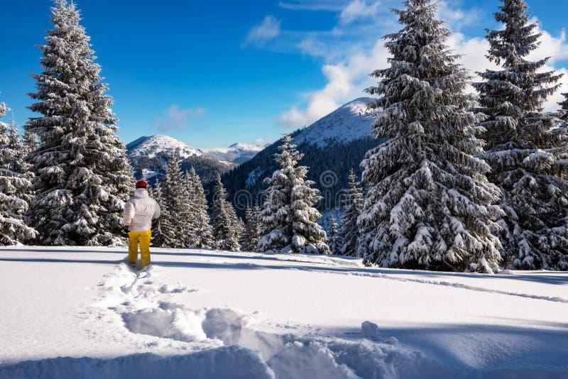 Voyageur, courses de femme parmi les pins énormes couverts de neige photos stock