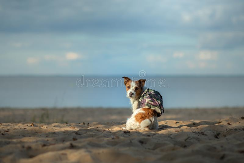 Voyageur de chien petit Jack Russell Terrier avec un sac à dos sur la plage images stock