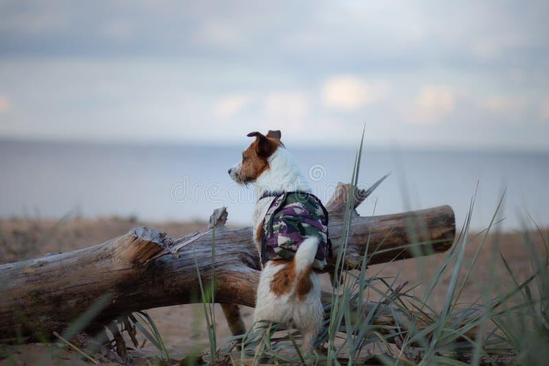 Voyageur de chien petit Jack Russell Terrier avec un sac à dos sur la plage image stock