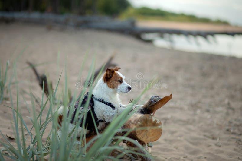 Voyageur de chien petit Jack Russell Terrier avec un sac à dos sur la plage photographie stock