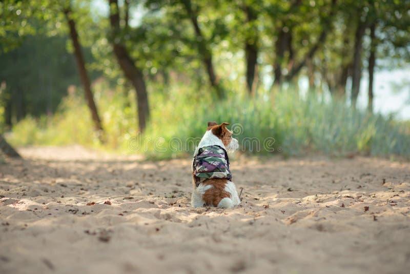 Voyageur de chien petit Jack Russell Terrier avec un sac à dos sur la plage photo libre de droits