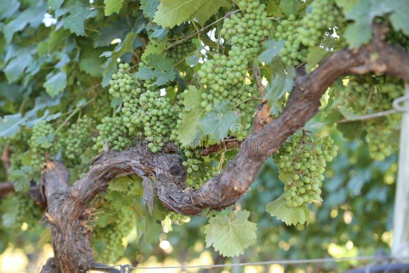 Voyagez aux raisins verts de Frances ou de la Toscane prêts à sélectionner images stock