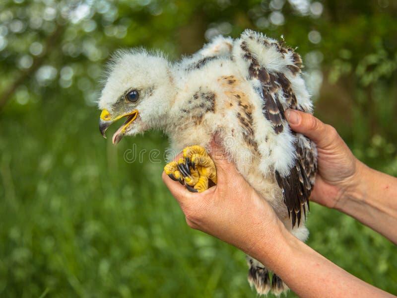 Vråkfågelunge i hand arkivfoton