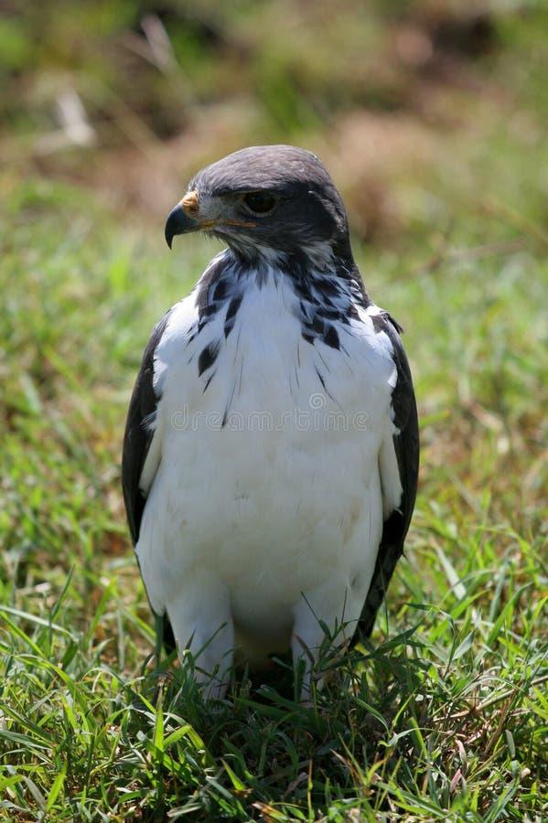 vråkkraterngorongoro tanzania royaltyfri fotografi