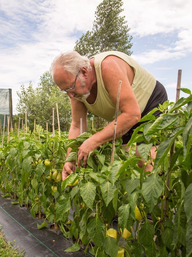 Vrai agriculteur dans son propre jardin photographie stock
