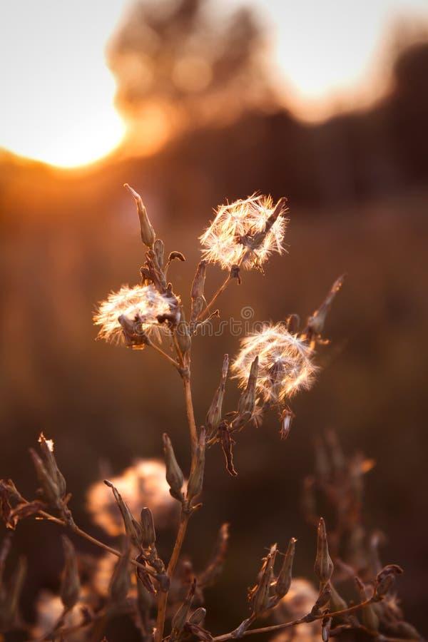 Vrai champ et pissenlit au coucher du soleil image stock