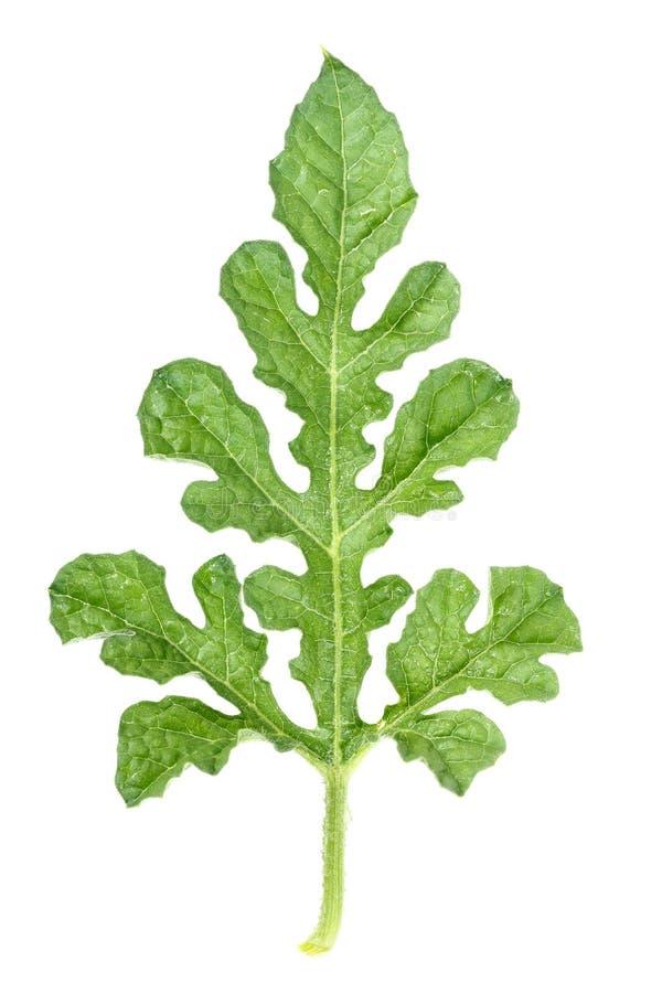 vraie feuille verte de pastèque d'isolement sur le blanc photographie stock