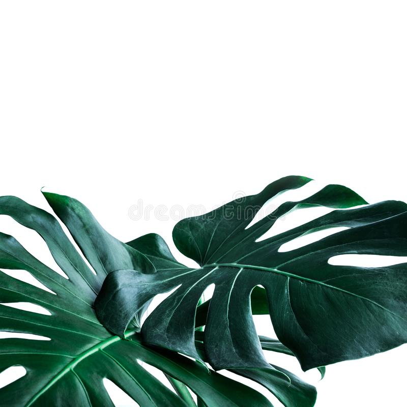 Vraies feuilles de monstera décorant pour la conception de composition Tropical, photos libres de droits