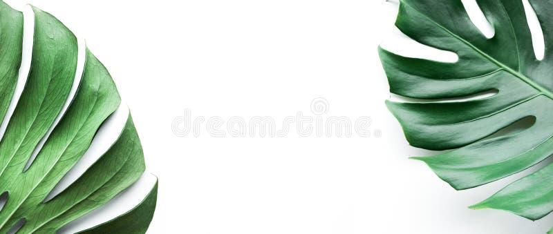 Vraies feuilles de monstera réglées sur le fond blanc image stock