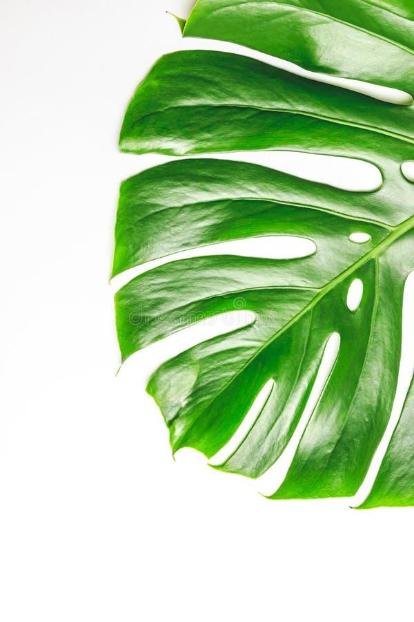 Vraies feuilles de monstera sur le fond blanc photos stock