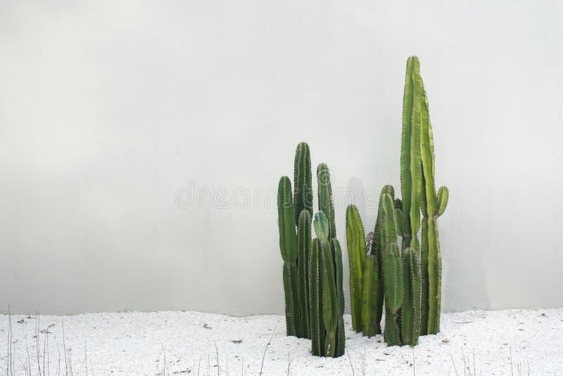 Vraies usines de cactus réglées avec le plancher blanc de roches dans le désert d'isolement sur le fond blanc photographie stock libre de droits