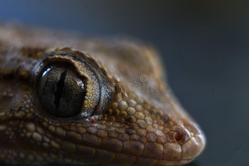 Vraiment étroit vers le haut du macro tir du gecko photographie stock
