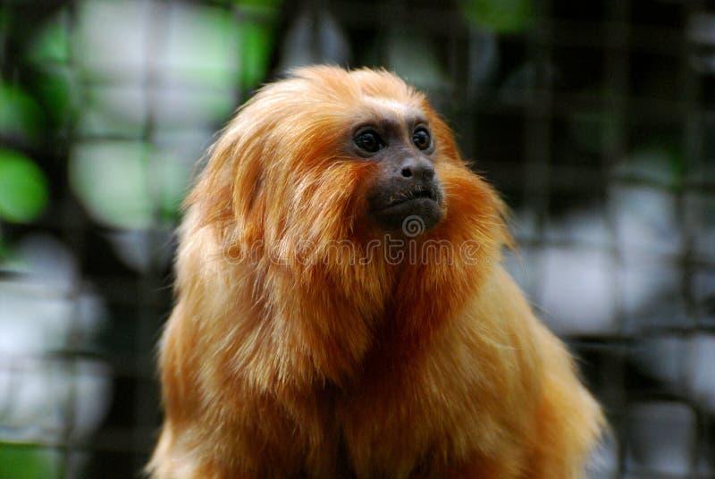 Vraiment mignon vers le haut de la fin avec Lion Tamarin Monkey d'or image stock