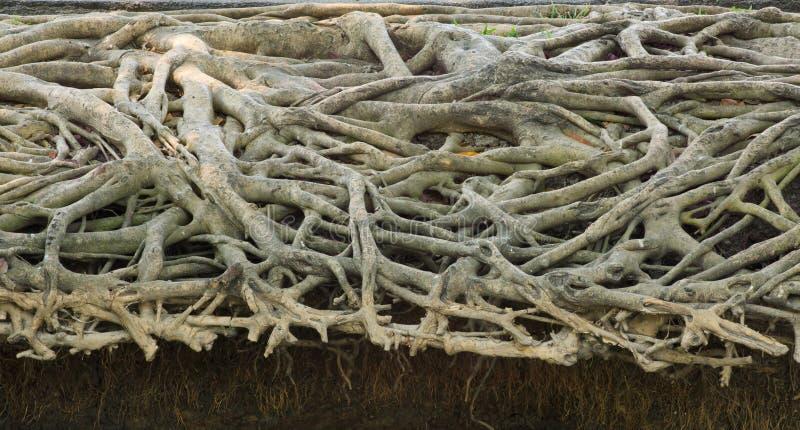 Vraiment photo de forme naturelle de racine d'arbre photos stock