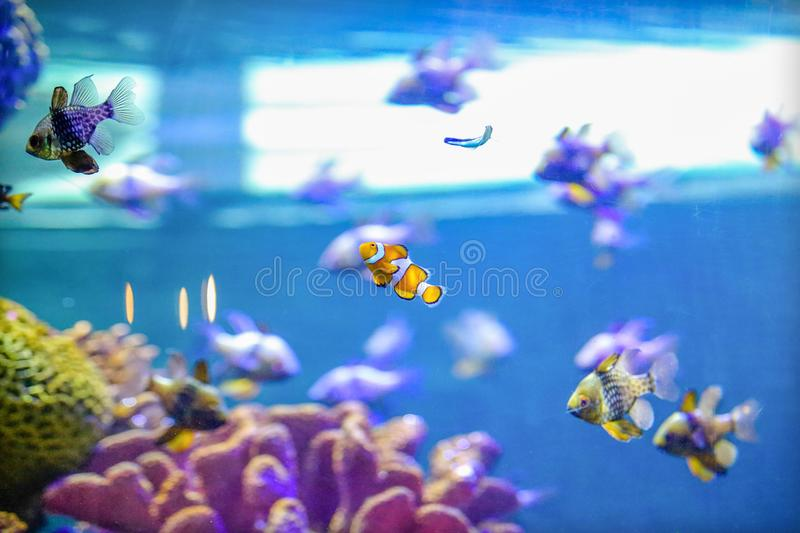 Vrais poissons de Nemo en Coral Reef Aquarium Tank photos libres de droits