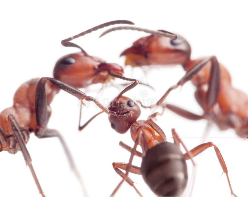 Vrede en liefde in mierenfamilie royalty-vrije stock fotografie