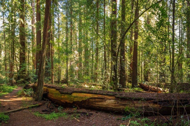Vreedzaam Californische sequoiabosje stock fotografie