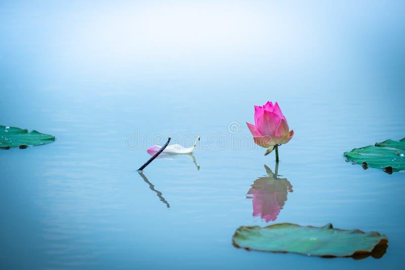 Vreedzaam concept De mooie lotusbloembloem wordt gecomplimenteerd door stock foto