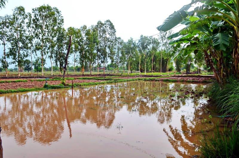 Vreedzaam padieveld in de landelijke provincie van Sakon Nakhon in noordelijk Thailand royalty-vrije stock afbeelding