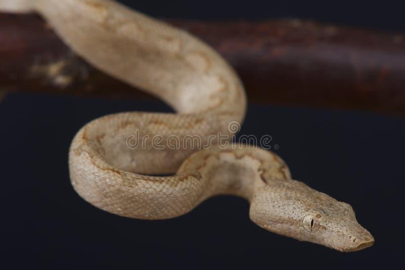 Vreedzame boa/Candoia-carinatapaulsoni royalty-vrije stock foto