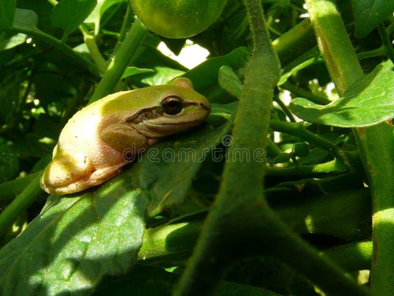 Vreedzame Boomkikker die op tomatenblad rusten stock fotografie