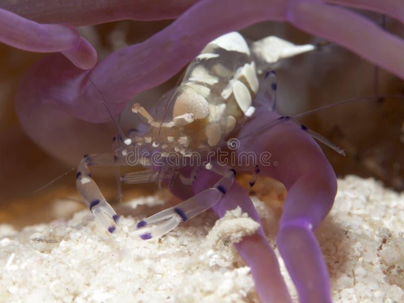 Vreedzame Clown Anemone Shrimp royalty-vrije stock foto