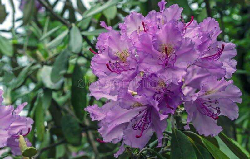 Vreedzame macrophyllum van de rododendronrododendron is groot-leaved species van Rododendron inheems aan de Vreedzame Kust van he stock fotografie