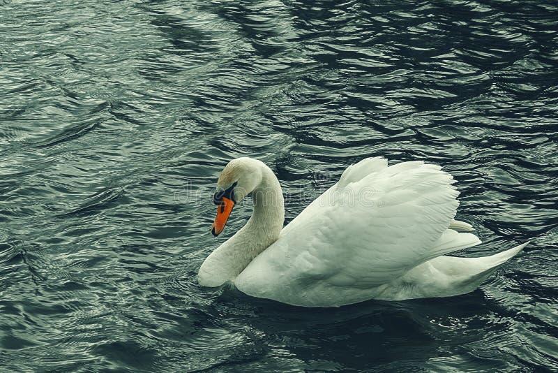 Vreedzame mooie zwaan op het water Edele Vogel royalty-vrije stock foto's