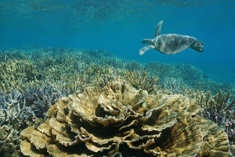 Vreedzame oceaan onderwaterertsaderschildpad en koralen royalty-vrije stock foto's