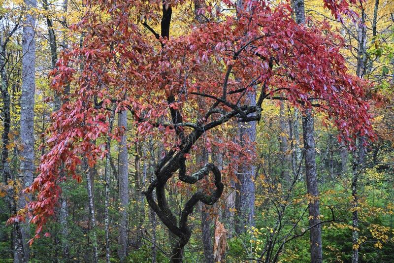 Vreemd genoeg gevormde Kleurrijke Boom in Great Smoky Mountains royalty-vrije stock fotografie