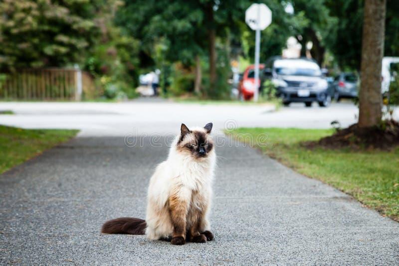 Vresig Balinese Cat Sitting på trottoaren nära vägen arkivbild