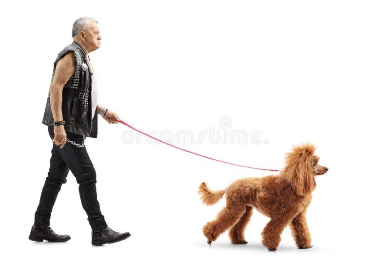 Vresig hög man i läderväst som går en infall ansad röd pudelhund arkivbild