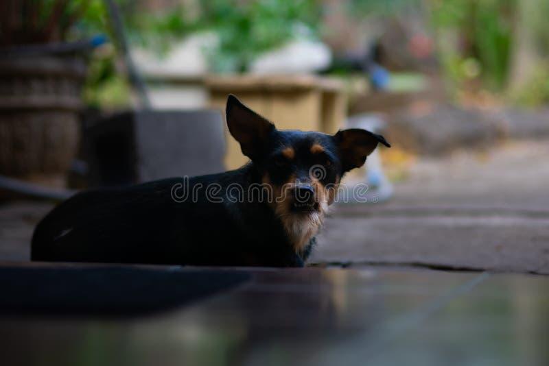 Vresig seende hund som sitter p? tr?skeln royaltyfri foto