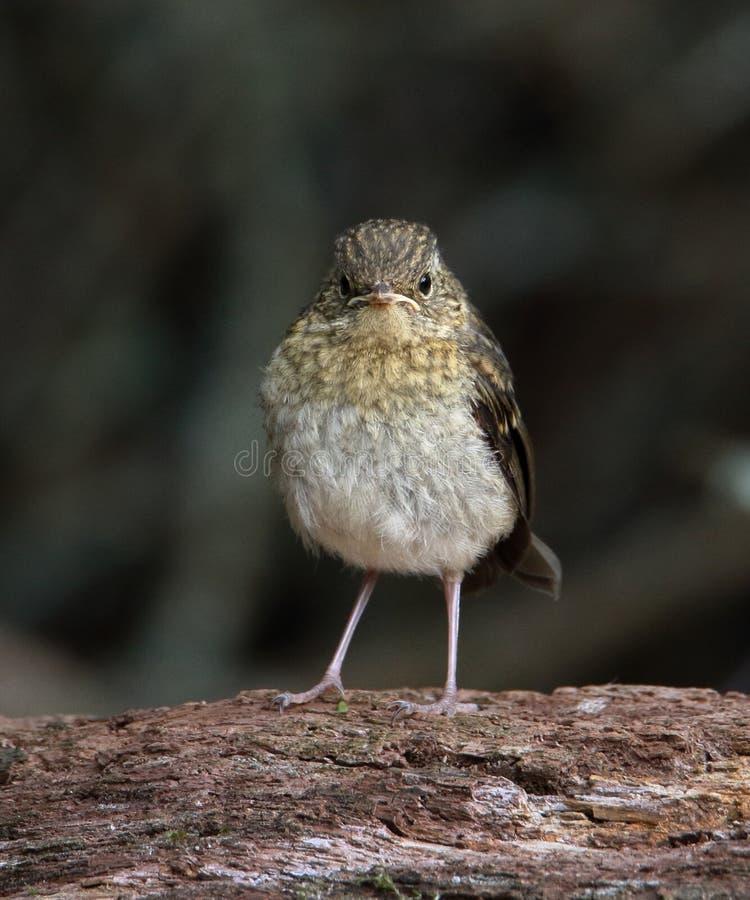 Vresiga Robin Chick royaltyfri bild