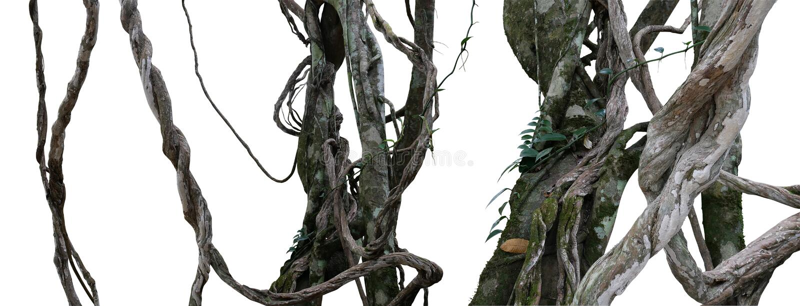 Vriden för djungelvinrankor för lös lian smutsig växt med mossa, lav royaltyfria foton