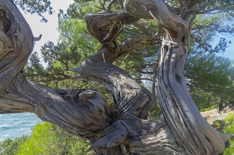 Vriden stam av ett enträd arkivbild