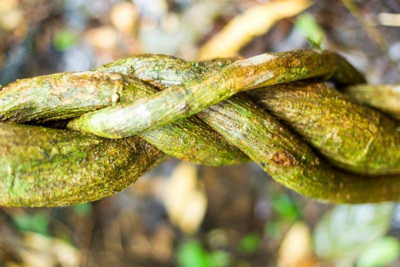 Vridet Amazonian tema för lianer royaltyfri foto