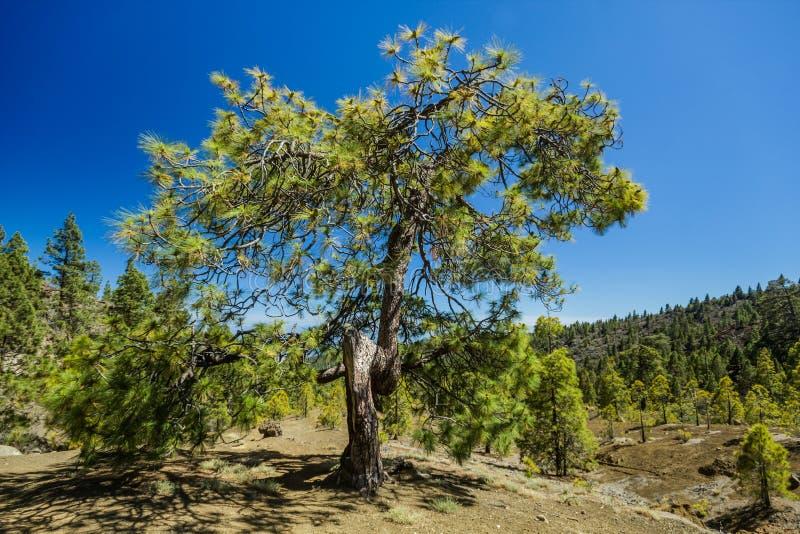 Vridet enormt sörjer trädjn som den steniga banan på höglandet som förbi omges, sörjer träd på den soliga dagen Klar luehimmel St royaltyfria foton