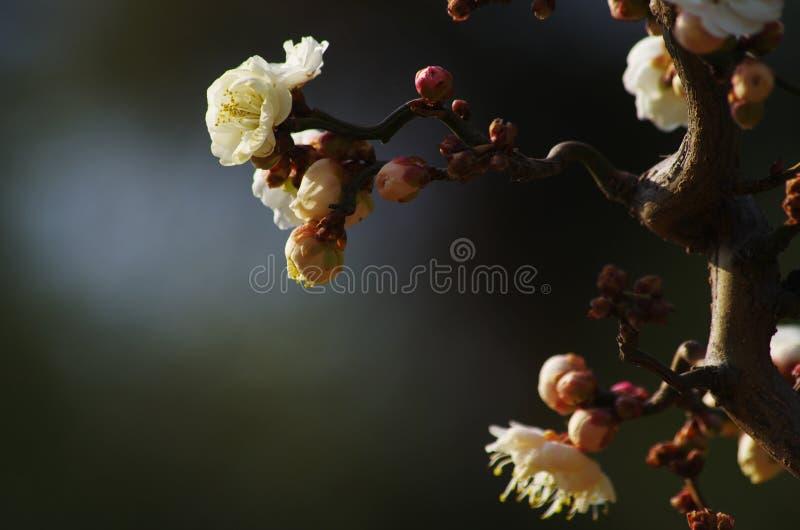 Vridet plommonträd med att blomma blommor royaltyfri bild