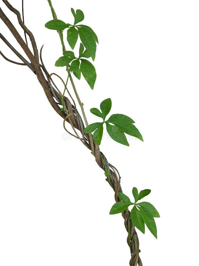 Vridna djungelvinrankor med gröna sidor av den lösa liaen för morgonhärlighet arkivfoton